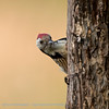 Middelste bonte specht Dendrocoptes medius Leiopicus medius Middle spotted woodpecker Mittelspecht Pic mar
