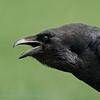 Raaf; Corvus corax; Common raven; Grand Corbeau; Kolkrabe