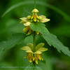 Gele dovenetel; Lamium galeobdolon; Yellow archangel; Lamier jaune; Gewöhnliche Goldnessel