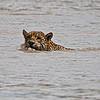 Jaguar; Panthera onca