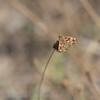 Kaasjeskruiddikkopje Carcharodus alceae Hespérie de l'alcée Grisette Mallow skipper MalvenDickkopffalter