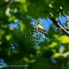 Wielewaal; Oriolus oriolus; Eurasian golden oriole; Loriot d'Europe; Pirol
