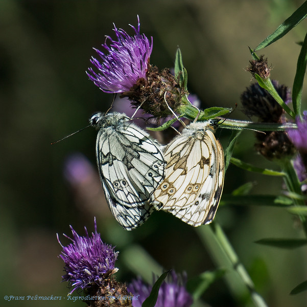 Dambordje Melanargia galathea Schachbrett Schmetterling Marbled white Demideuil Échiquier Arge galathée