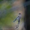 Fringilla coelebs; Buchfink; Chaffinch; Pinson des arbres; Vink