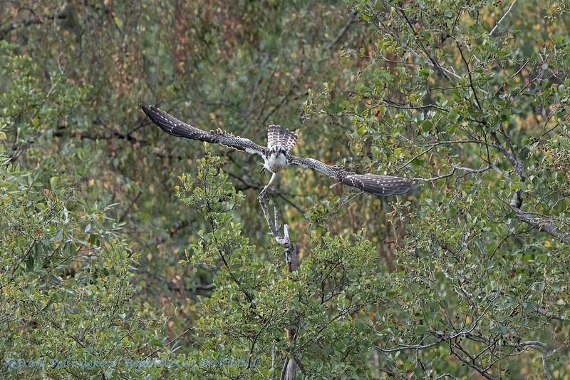 Visarend; Osprey; Balbuzard pêcheur; Pandion haliaetus