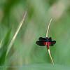 Diastatops intensa; Dragonfly Pantanal