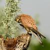 Torenvalk; Falco tinnunculus; Turmfalke; Kestrel; Faucon crécerelle