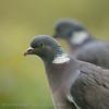 Houtduif Columba palumbus Ringeltaube Wood Pigeon Pigeon ramier