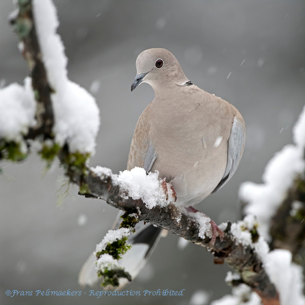 Streptopelia decaocto; Türkentaube; Collared Dove; Tourterelle turque; Turkse Tortel; snow; neige; sneeuw