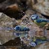 Pimpelmees; Parus caeruleus; Blaumeise; Blue Tit; Mésange bleue