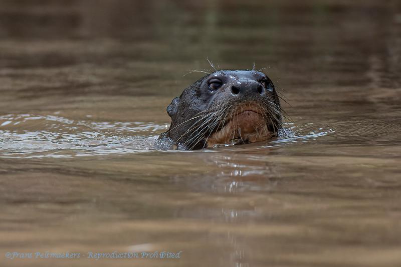Reuzenotter; 2019; Pteronura brasiliensis; Giant otter; Loutre géante; Riesenotter