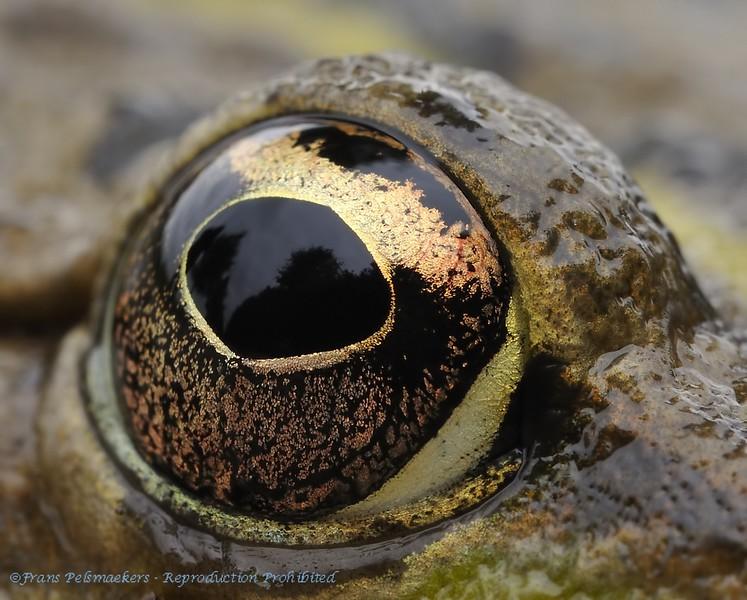 Close-up eyes Toad