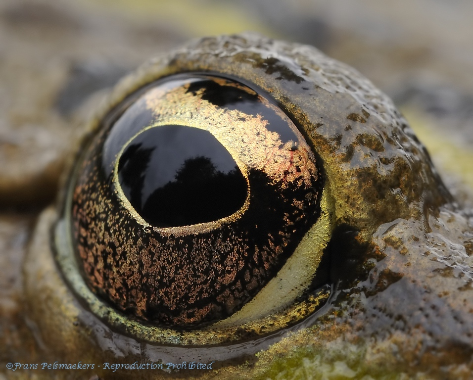 Close-up eyes Toad