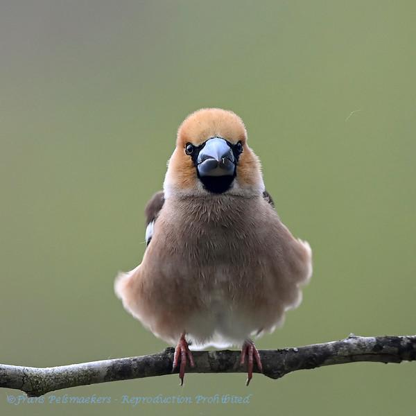 Appelvink; Coccothraustes coccothraustes; Grosbec cassenoyaux; Kernbeisser; Hawfinch