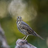 Zanglijster 2019 Turdus philomelos Singdrossel Song Thrush Grive musicienne
