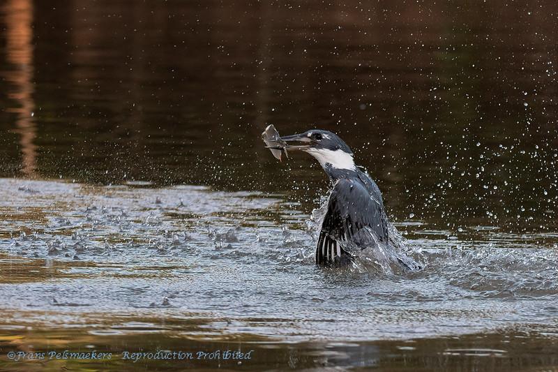 Amerikaanse reuzenijsvogel; Megaceryle torquata; Ringed kingfisher; Martinpêcheur à ventre roux; Rotbrustfischer Brazil