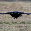 Raaf; 2019; Corvus corax; Common raven; Grand Corbeau; Kolkrabe