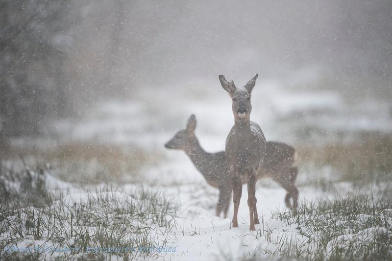 Ree; Ree; Capreolus capreolus; Roe deer; Reh; Chevreuil capreolus; Roe deer; Reh; Chevreuil