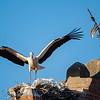 Ooievaar; Cigogne blanche; White Stork; Weissstorch; Ciconia ciconia