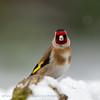 Putter; Carduelis carduelis; Distelfink; Goldfinch; Chardonneret élégant