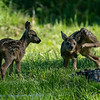 Ree; Capreolus capreolus; Roe deer; Reh; Chevreuil