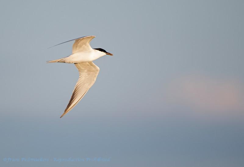 Lachstern; Gelochelidon nilotica; Gullbilled tern; Sterne hansel; Lachseeschwalbe