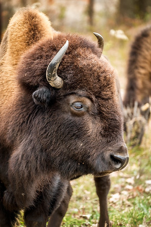 The Eye of the Bison