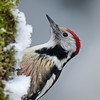 Middelste bonte specht; Dendrocoptes medius; Leiopicus medius; Middle spotted woodpecker; Mittelspecht; Pic mar