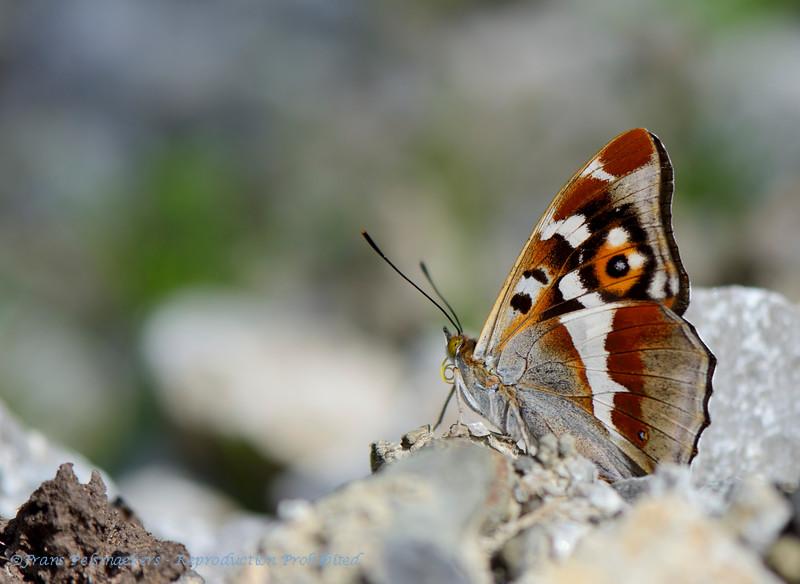 Grote weerschijnvlinder; Apatura iris; Purple Emperor; Großer Schillerfalter; Grand mars changeant