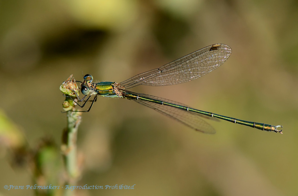 Houtpantserjuffer; Lestes viridis; Chalcolestes viridis; Willow emerald damselfly; Western willow spreadwing; Leste vert; Weidenjungfer