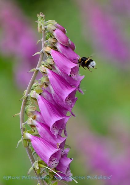 Grote koekoekshommel; Bombus vestalis; Vestal cuckoo bumblebee