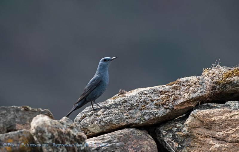 Blauwe rotslijster; Monticola solitarius; Blue rock thrush; Monticole merlebleu; Blaumerle