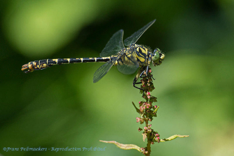 Kleine tKleine tanglibel; Onychogomphus forcipatus; Kleine Zangenlibelle; Gomphe à pinces; Small pincertail; Greeneyed hooktailed dragonflyil; Greeneyed hooktailed dragonfly