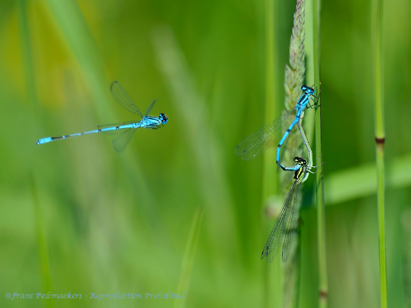 Azuurwaterjuffer; Coenagrion puella; HufeisenAzurjungfer; Azure damselfly; Agrion jouvencelle