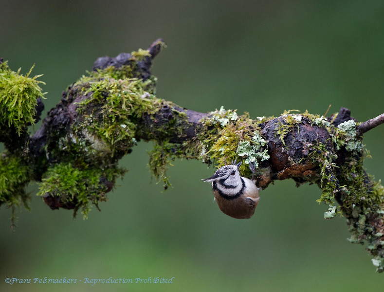 Kuifmees; Parus cristatus; Mésange huppée; Crested Tit; Haubenmeise