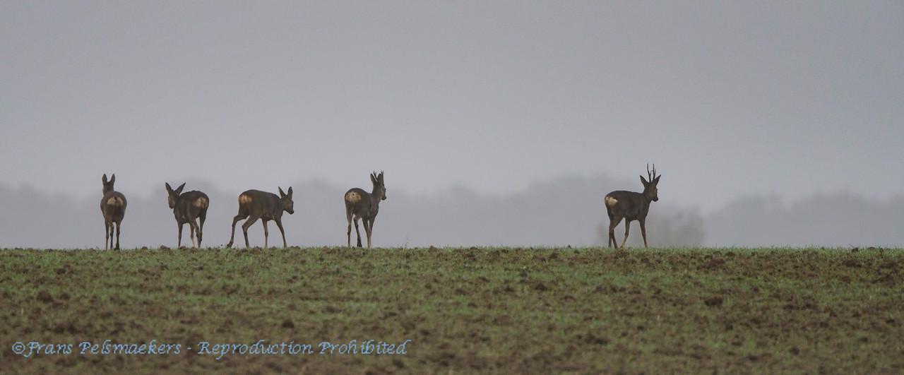 Ree; Capreolus capreolus; Roe deer; Reh; Chevreu