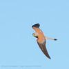 Kleine torenvalk; Falco naumanni; Lesser kestrel; Faucon crécerellette; Rötelfalke