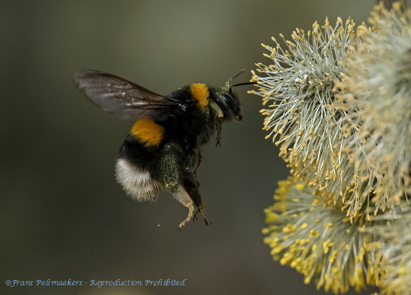 Aardhommel Bombus terrestris Bufftailed bumblebee Bourdon terrestre Dunkle Erdhummel