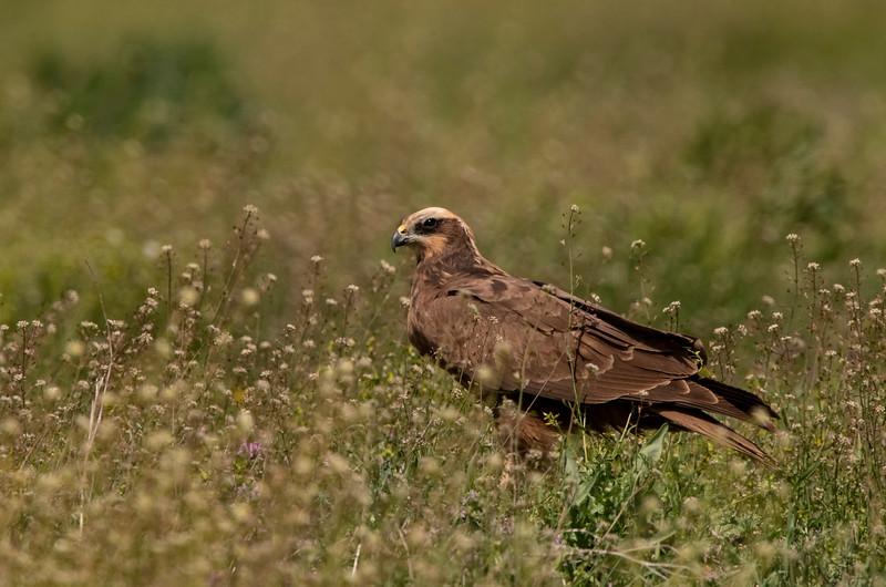 Bruine Kiekendief; Busard des roseaux; Marsh Harrier; Rohrweihe; Circus aeruginosus