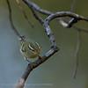 Bladkoning; Phylloscopus inornatus; Yellowbrowed warbler; Pouillot à grands sourcils; GelbbrauenLaubsänger