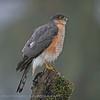 Sperwer; Accipiter nisus; Sparrowhawk; Epervier d'Europe; Sperber