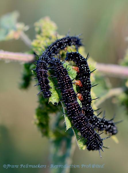 Dagpauwoog; rups; Aglais io; Paon du Jour; Tagpfauenauge; Peacock; chenille; caterpillar