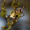 Carduelis carduelis; Distelfink; Goldfinch; Chardonneret élégant; Putter