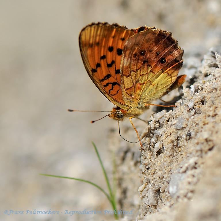 Braamparelmoervlinder; Nacré Lilas; BrombeerPerlmutterfalter; Marbled Fritillary; Brenthis daphne