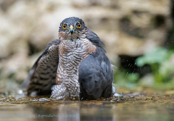 Accipiter nisus; Sparrowhawk; Epervier d'Europe; Sperwer; Sperber