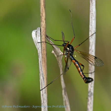 Houtlangpootmug; Tanyptera atrata; Tanyptère noire; Schwarze Kammschnake; Crane fly