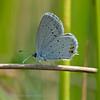 Staartblauwtje; Cupido argiades; Shorttailed blue; Azuré du trèfle; Kurzschwänziger Bläuling