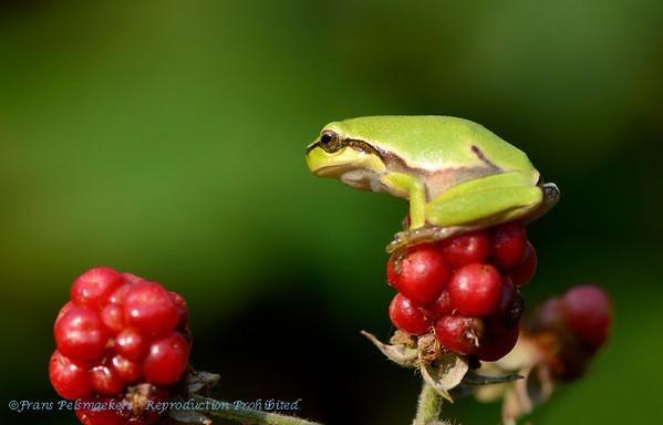 Boomkikker; Rainette verte; Tree toad; Hyla arborea; European tree frog; Europäischer Laubfrosch