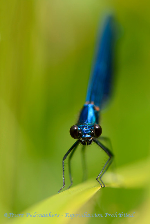 Bosbeekjuffer; Calopteryx virgo; Beautiful demoiselle; Caloptéryx vierge; BlauflügelPrachtlibelle