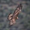 Steenarend; Aquila chrysaetos; Steinadler; Aigle royal; Golden eagle